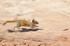 Hopi Chipmunk. In Canyonlands national park, Utah USA Stock Images