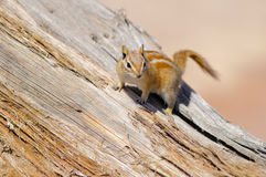 Hopi Chipmunk. In Canyonlands national park, Utah USA Stock Image