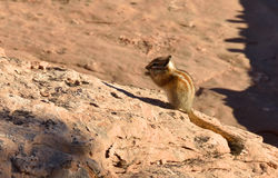 Hopi Chipmunk. Standing on large rock, Arches National Park, Utah, United States Royalty Free Stock Photos