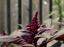 Hopi Red Dye Amaranth Flower. Hopi Red Dye Amaranth plant with flower Stock Photo
