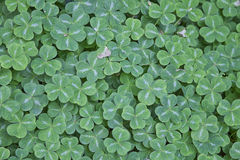 Hoping for Just One Four-Leaf Clover Stock Photography