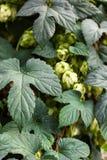 Hopinstallatie met het zaadkegel van de Hopbloem Gemeenschappelijke die hop, Humulus-lupulus, als smaakstof en stabiliteitsagent  royalty-vrije stock afbeeldingen