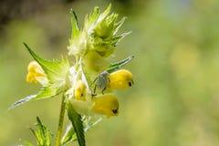 Hoplia Parvula on a Rhinanthus Flower Royalty Free Stock Photo