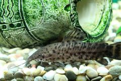 Hoplosternum thoracatum in aquarium stock photos