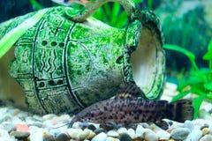 Hoplosternum thoracatum in aquarium royalty free stock images