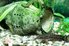 Hoplosternum thoracatum in aquarium royalty free stock images