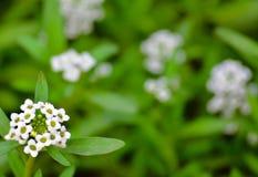 `-Hopp` - blommande oavkortad blomning ag för liten blomma Arkivfoton