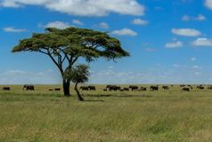 Hopp - flockar av afrikanska elefanter i den Serengeti nationalparken Royaltyfria Bilder