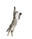 Hoppa den gråa strimmig kattkatten Royaltyfria Bilder