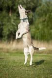 Hoppa den höga hunden Royaltyfri Bild