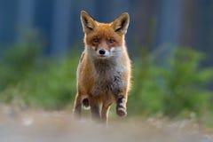 Hoppa den röda räven Rinnande röd räv, Vulpesvulpes, på den gröna skogdjurlivplatsen från Europa Orange djur för pälslag i nature arkivfoton