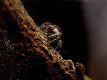 Hoppa den spindelPhidippus putnamien arkivbilder