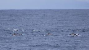 Hoppa för gemensamma delfin Royaltyfri Fotografi