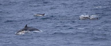 Hoppa för gemensamma delfin Royaltyfria Bilder