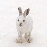Hoppa för snöskohare Royaltyfria Foton