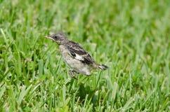Hoppa härmfågel Royaltyfria Foton