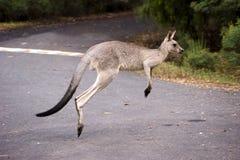 hoppa känguru fotografering för bildbyråer