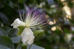 Hoppa omkring blomman (Capparisspinosa) som ut blommas Arkivbilder