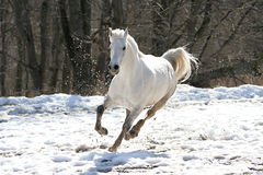 Hoppande over vit häst Royaltyfri Foto