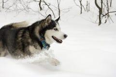 Hoppar stor spring för skrovlig för snövintern härlig stolt djur för den lösa hunden snö för vargen till och med snön Arkivbilder
