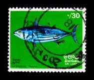HoppbaggeTuna Katsuwonus pelamis, Marine Life serie, circa 1972 Royaltyfri Bild