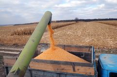 From the hopper of the combine, the grain is pulled down into th. In the field from the hopper of the combine, the corn of the new corn crop is blown into the royalty free stock photography