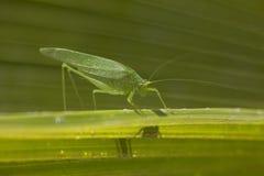 Hopper för gräs för jätteKatydid länge lagd benen på ryggen grön blad Royaltyfri Foto