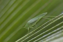 Hopper för gräs för jätteKatydid länge lagd benen på ryggen grön blad Arkivfoto