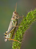 Hopper on Foxtail Stock Photos