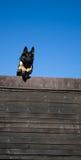 Hopphund över häcken Royaltyfri Fotografi