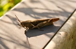 A hopping cricket Stock Photos