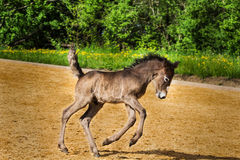 Hopping foal. Funny hopping foal on the riding place Royalty Free Stock Image
