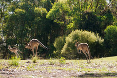 Hopping kangaroos Royalty Free Stock Photo