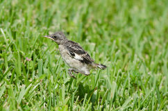 Hopping Mockingbird. Baby Mockingbird jumping around on grass field, Fort Myers, Florida Royalty Free Stock Photos