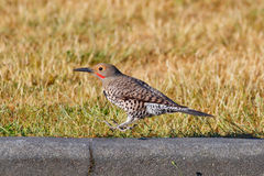 Hopping Northern Flicker Stock Photos
