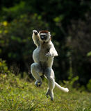 Hopping Sifaka Verreaux bipedally σε έναν μπροστινό και λοξά μια μετακίνηση στη Μαδαγασκάρη Στοκ Εικόνα