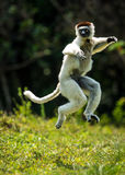 Hopping Sifaka Verreaux bipedally σε έναν μπροστινό και λοξά μια μετακίνηση στη Μαδαγασκάρη Στοκ εικόνες με δικαίωμα ελεύθερης χρήσης