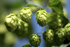 Free Hops Royalty Free Stock Photography - 10695117