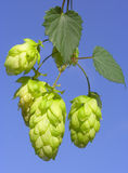 Hops. Green hops macro om blue Royalty Free Stock Image