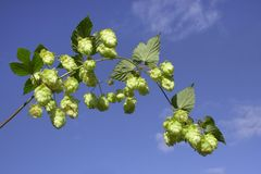 Hops. Green hops on blue sky Royalty Free Stock Photo