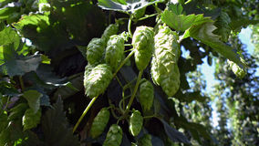 Hops. Almost ripe umbels of hops to be used for beer production royalty free stock photography