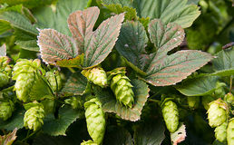 Hops Royalty Free Stock Photos