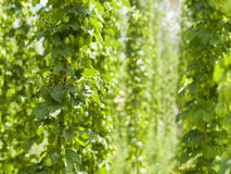 Hops Stock Photography