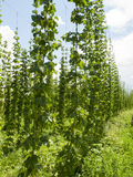 Hops Royalty Free Stock Photo