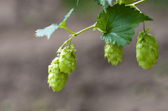 Hops. Isolated on nature background Stock Images