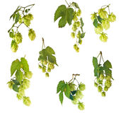 Hops. Blossoming hop with leaves on a white background Stock Photography