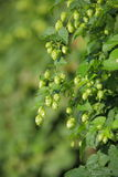 Hops Stock Photo