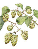 Hops. Watercolor with a branch of hops Stock Photography