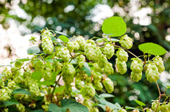 Hops Stock Images