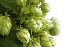 hops Fotografia de Stock Royalty Free